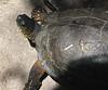 San Jose Butterfly Garden - Black River Turtle - He Didn't Hide
