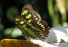 San Jose Butterfly Garden - Malachite