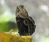 San Jose Butterfly Garden - Blue Morph Underwings Do Not Reveal Its Beauty