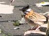 Parque La Sabana - Rufous-collared Sparrow