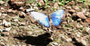San Jose Butterfly Garden - Blue Morph in Sunlight Shows The Iridescence of The Color