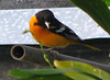 Homestay Garden - Baltimore Oriole by Orange Tree