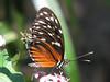 San Jose Butterfly Garden - Passionflower Butterfly_3