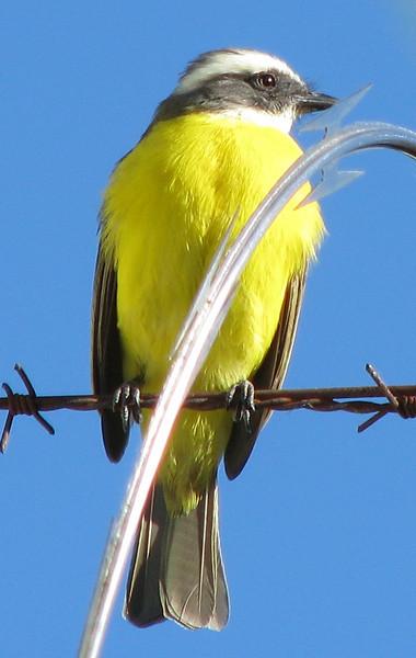 First Bird Photo - Social Flycatcher at Homestay Garden