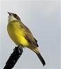 Parque La Sabana - Social Flycatcher