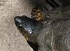 San Jose Butterfly Garden - Black River Turtle aka Black Wood Turtle - He Was Braveheart Since He Didn't Go Inside His Shell