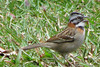 Homestay Garden - Rufous-collared Sparrow_4