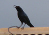 Homestay View Through Window - Male Great-tailed Grackle_4