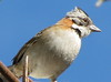 Homestay Garden - Rufous-collared Sparrow_2