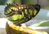 San Jose Butterfly Garden - Malachite_2