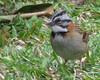 Homestay Garden - Rufous-collared Sparrow_6