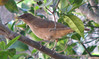 Homestay Garden - Clay-colored Robin_2