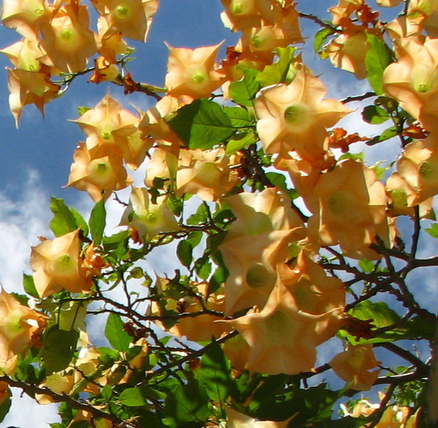 Downtown San Jose - Looking Up Into The Angel's Trumpet Flowers