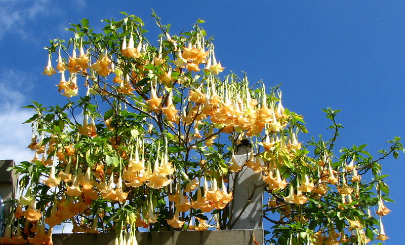 Angel's Trumpet Flowers - Downtown San Jose - Across From Side of Museo de Cultural