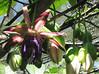 San Jose Butterfly Garden - Passion Flower