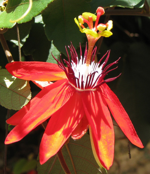 Downtown San Jose - Flowering Vine Across From Museo Nacional Entrance - Passion Flower?