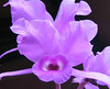 Homestay - Orchid