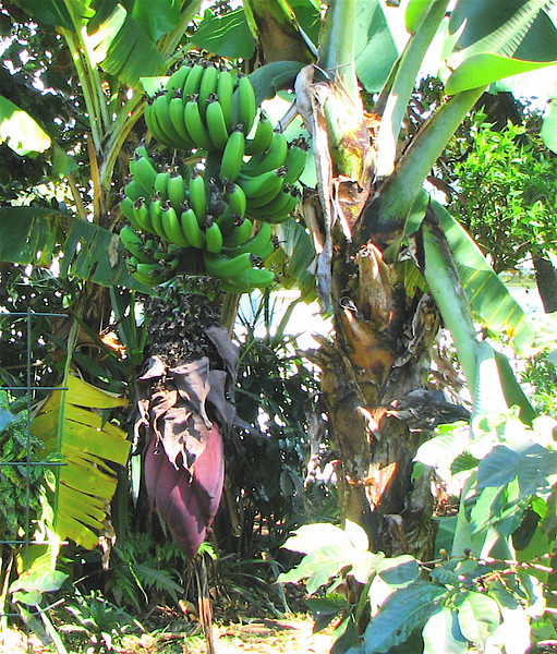 Downtown San Jose - Museo Nacional - Banana Tree With Fruit and Flower Bud