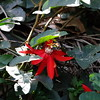 San Jose, 16th January, Passion Flower