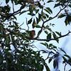 San Jose, 16th January, Ferruginous Pygmy Owl