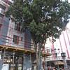 San Jose, 15th January, Red-lored Parrot, Plaza de La Cultura