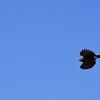 San Jose, 16th January, Squirrel Cuckoo