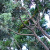 San Jose, 15th January, Red-lored Parrot, Plaza de La Cultura