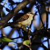 San Jose, 16th January, Rufous-naped Wren