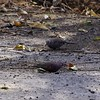 San Jose, 16th January, Common Ground-dove & (behind) Inca Dove
