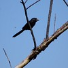 San Jose, 16th January, Groove-billed Ani