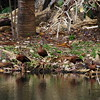 San Jose, 16th January, Black-bellied Whistling Duck