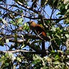 San Jose, 16th January, Squirrel Cuckoo