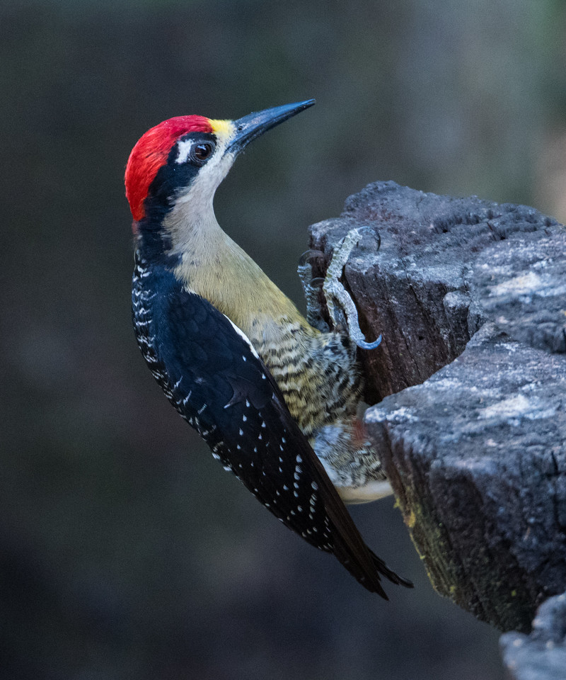 Black-cheeked Woodpecker (male)