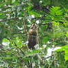 Just outside Tortuguero National Park, 7th January 2017, Juvenile Hoffman's Two-toed Sloth