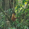 Just outside Tortuguero National Park, 7th January 2017, Central American Spider Monkey