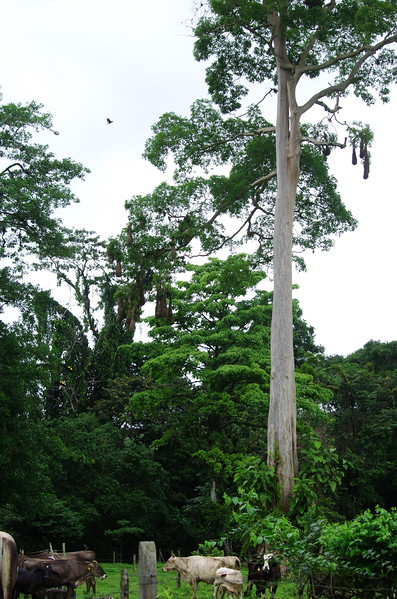 Just outside Tortuguero National Park, 7th January 2017, Oropendola Nests