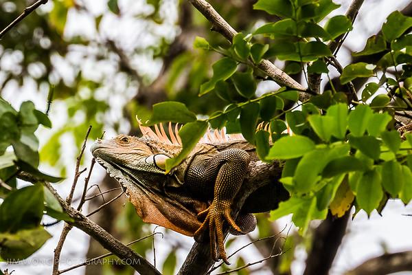 Green iguana, Tortuguero