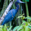 Little blue heron, Tortuguero