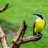 Great kiskadee, Tortuguero