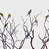 Green macaws, Tortuguero