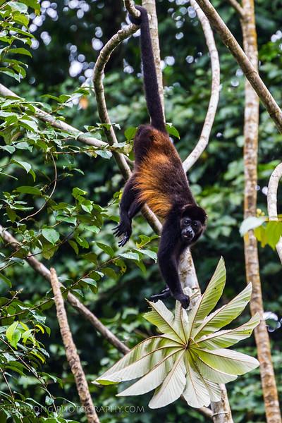 Howler Monkey, Tortuguero