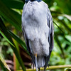 Yellow-crowned night heron, Tortuguero
