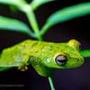 Glass frog, Tortuguero