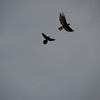 Great-tailed Grackle chasing off a Black Hawk-Eagle