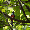 Slaty-tailed Trogon (male)