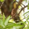 Ferruginous Pygmy-Owl - eye spots on back of head