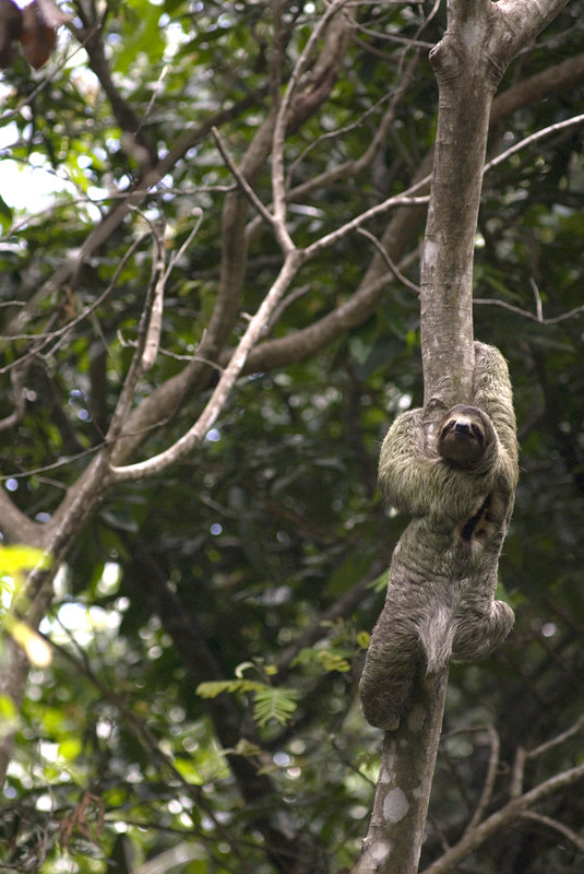 A male sloth climbing a tree in Manuel Antonio Park in Costa Rica. Costa Rican Wildlife photographed by a professional wildlife and nature photographer named Christina Craft.
