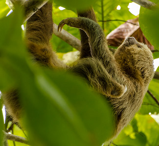 Two-toed Sloth Climbing