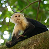 White-faced Capuchins are mostly black with yellowish-cream on the front of the body.  They have a distinct black crown and a pink face