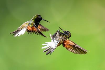 Black-bellied Hummingbirds